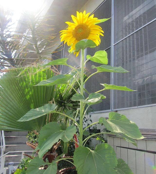 My-sunflower2